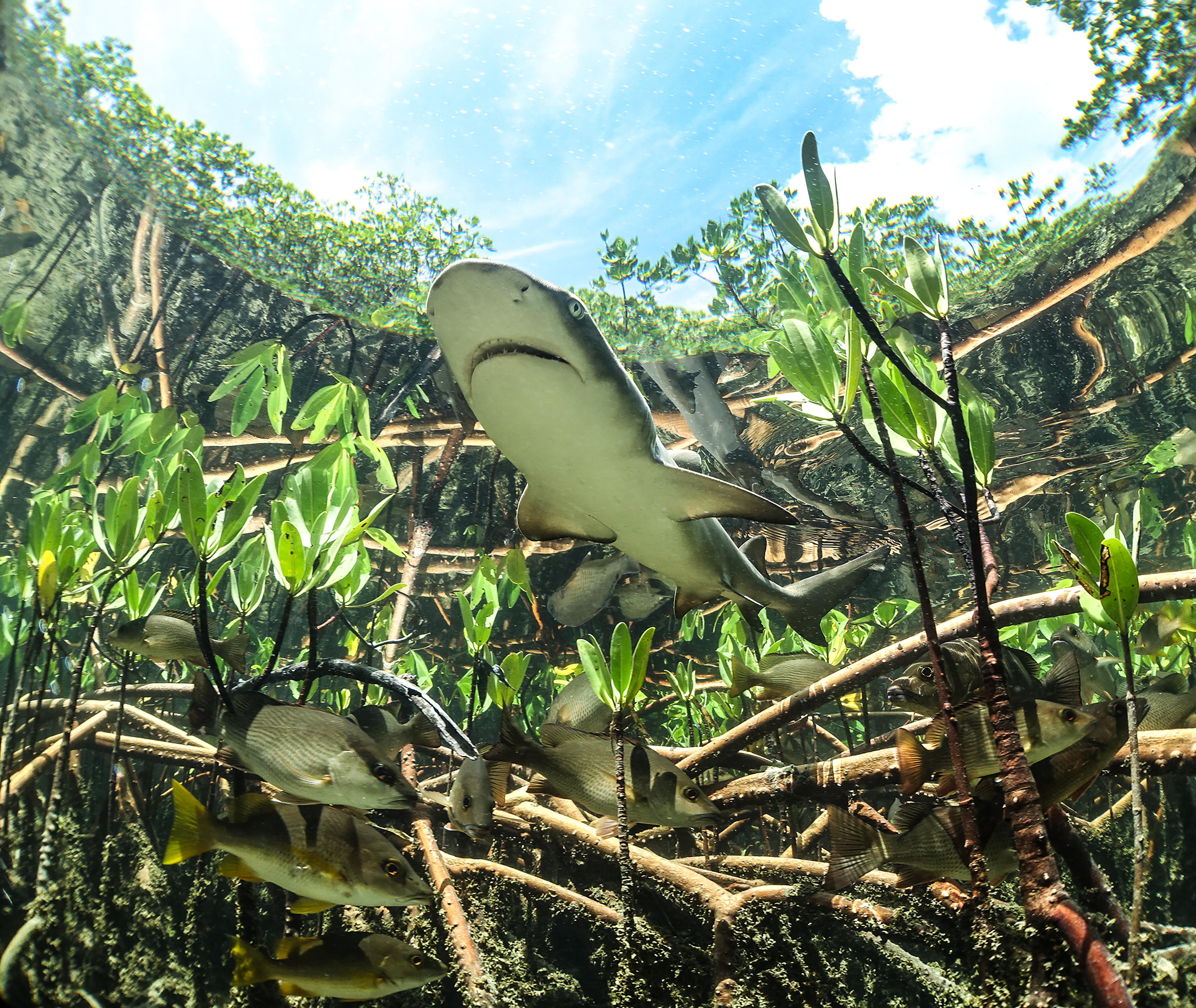 Lemon Shark in Mangroves